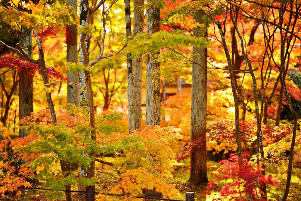 Fall foliage at Eikando Temple in Kyoto, Japan..jpeg
